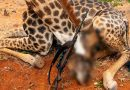 Una mujer mata una jirafa, posa con el corazón del animal y asegura que de esa forma ayuda a las especies en peligro de extinción
